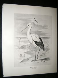 Frohawk 1898 Antique Bird Print. White Stork